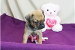 Picture of a Carlin Pinscher Puppy