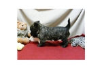 Picture of a Cairn Terrier Puppy