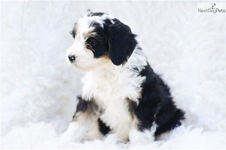 Puppy Goldendoodle Puppy For Sale Near Indianapolis