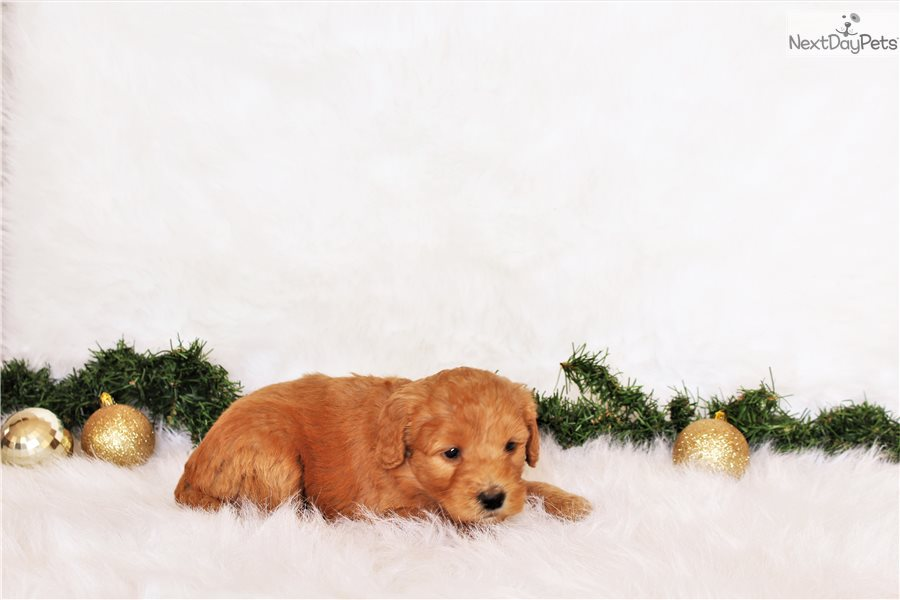 Goldendoodle Puppy For Sale Near Indianapolis Indiana