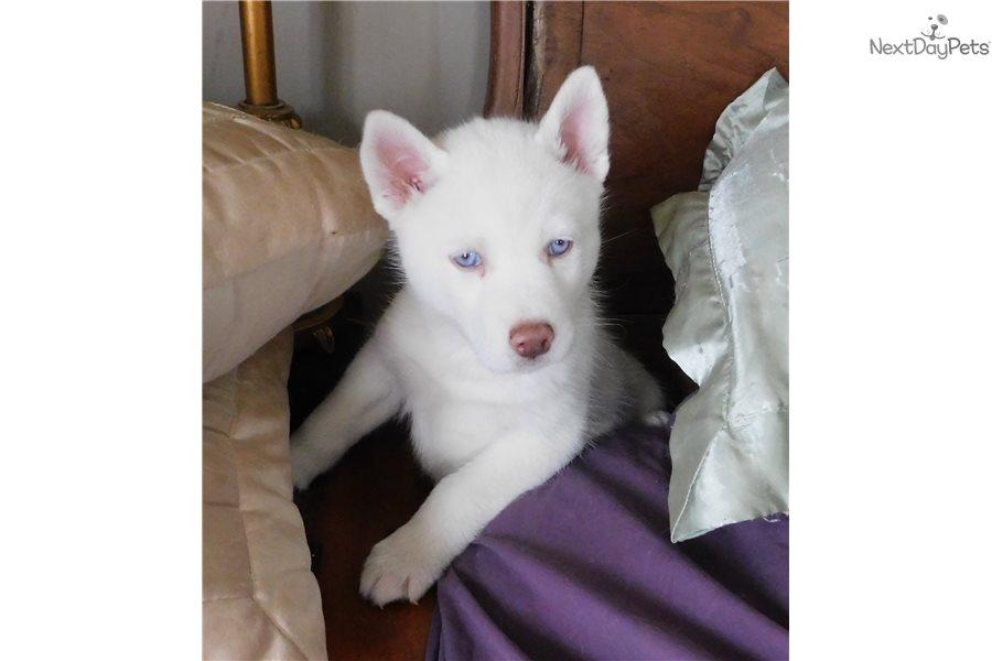 siberian husky for sale in michigan