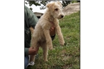 Picture of a Lakeland Terrier Puppy