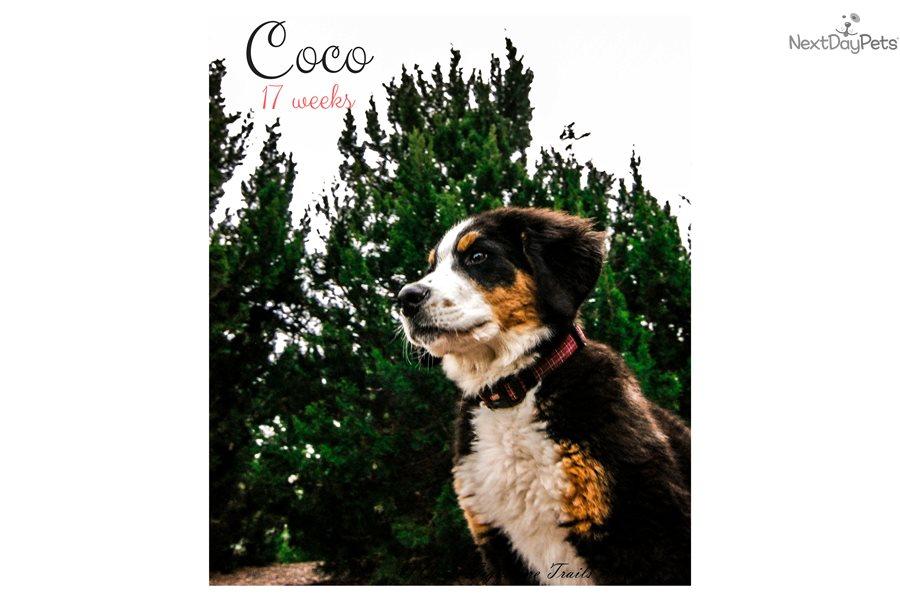 Coco Bernese Mountain Dog Puppy For Sale Near San Antonio Texas