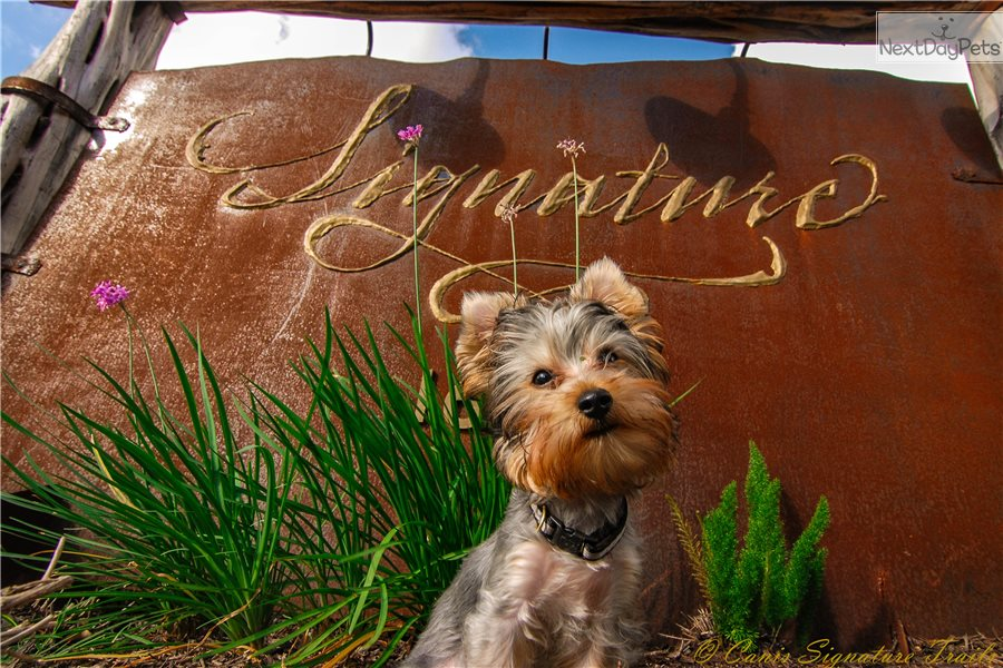 Graham Yorkshire Terrier Yorkie Puppy For Sale Near San Antonio