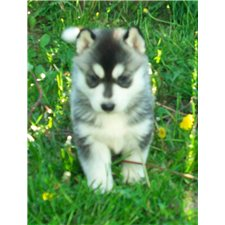 View full profile for Nikerbee Siberian Huskies