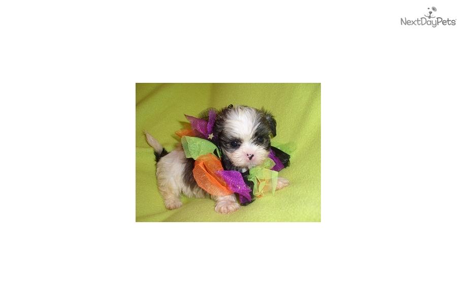 Teacup Shih Tzu Puppy For Sale Near Jackson Mississippi 679eb149