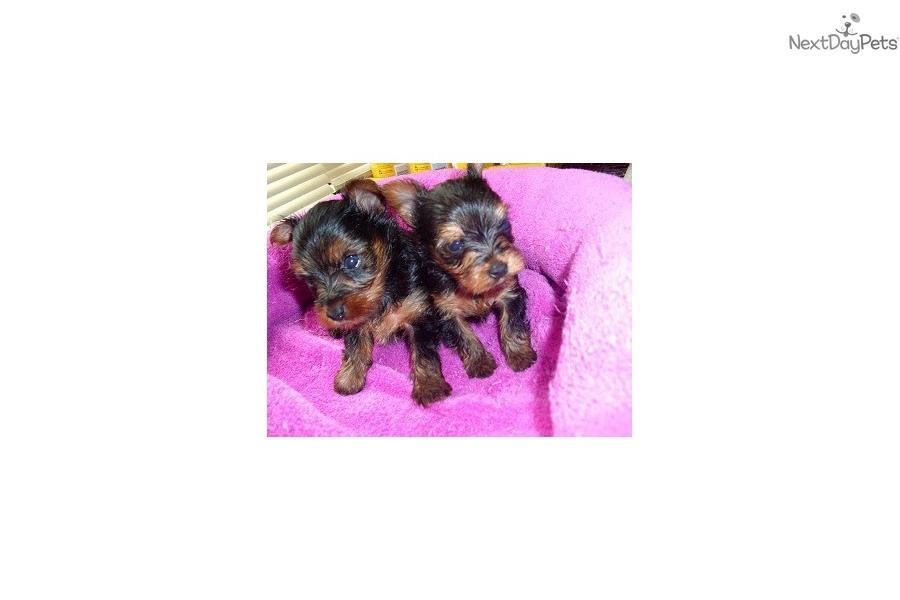Teacup Yorkshire Terrier Yorkie Puppy For Sale Near Jackson