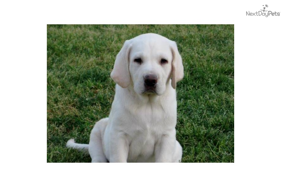 Puppies For Sale From Damascus Way Labradors Member Since October 2011