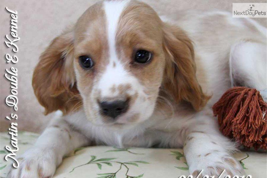 Meet Luke A Cute Cavanese Puppy For Sale For 500 Luke