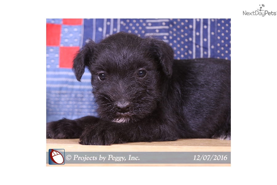 Tyrus Schnauzer Miniature Puppy For Sale Near Williamsport
