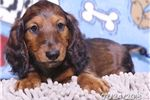 Picture of Nathan Male Dachshund Puppy