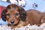 Picture of Martin Male Dachshund Puppy
