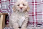 Picture of Gordon Male Lhasapoo Puppy