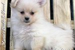 Picture of a Peek-A-Pom Puppy