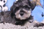 Picture of Will Male Mini Schnauzer Puppy