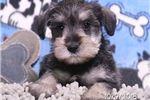 Picture of Wanda Female Mini Schnauzer Puppy
