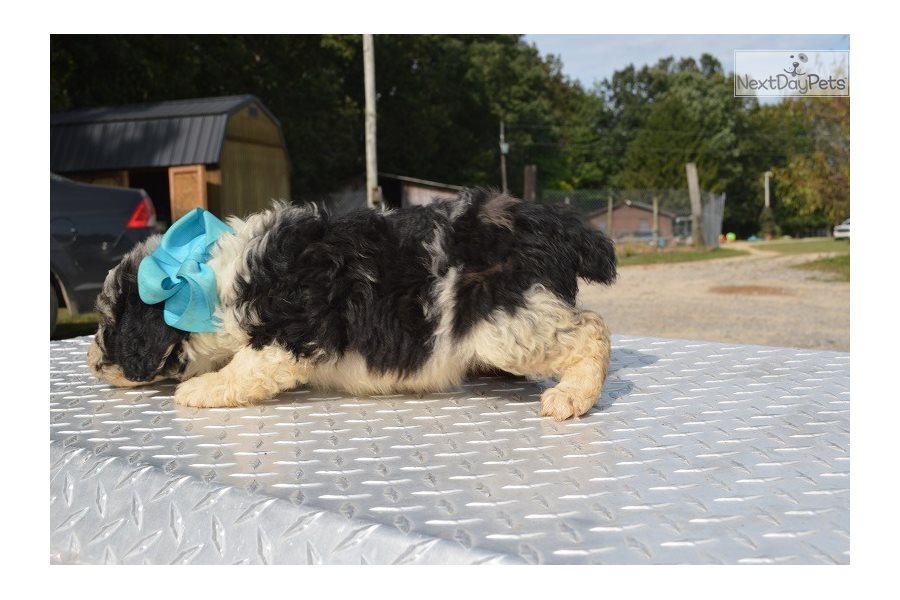 Two Bits: Aussiedoodle puppy for sale near Chattanooga ...