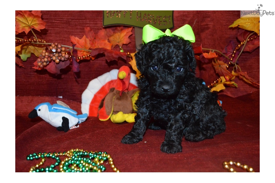 Prue Poodle Toy Puppy For Sale Near Chattanooga Tennessee
