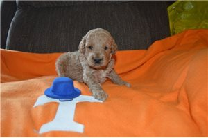 Goose | Puppy at 4 weeks of age for sale
