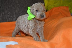 MiMi | Puppy at 4 weeks of age for sale