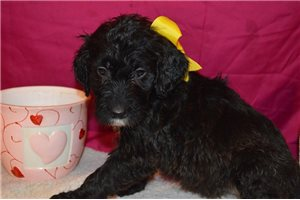 Focus - Irishdoodle for sale