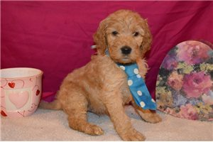 Plattemere - Irishdoodle for sale