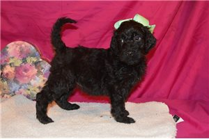 Treasure - Irishdoodle for sale