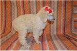 Picture of AKC Standard Poodle (Prissy)