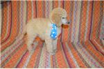Picture of AKC Standard Poodle (Jayco)
