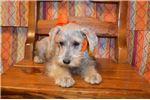 Picture of CKC Mini Schnauzer female (Sammie)