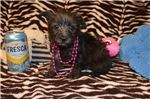 Picture of CKC Toy Schnoodle (Fancy)