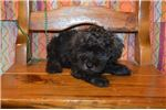 Picture of CKC Schnoodle (Trooper)