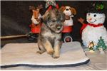 Picture of CKC Toy Schnoodle (Tuscany)