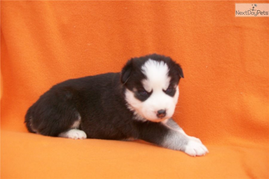 Siberian Husky Puppies For Sale Missouri