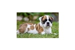 Picture of an English Boodle Puppy