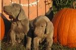 Picture of AKC Weimaraners