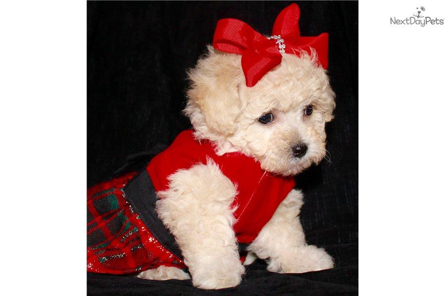 Marley: Malti Poo - Maltipoo puppy for sale near Dallas