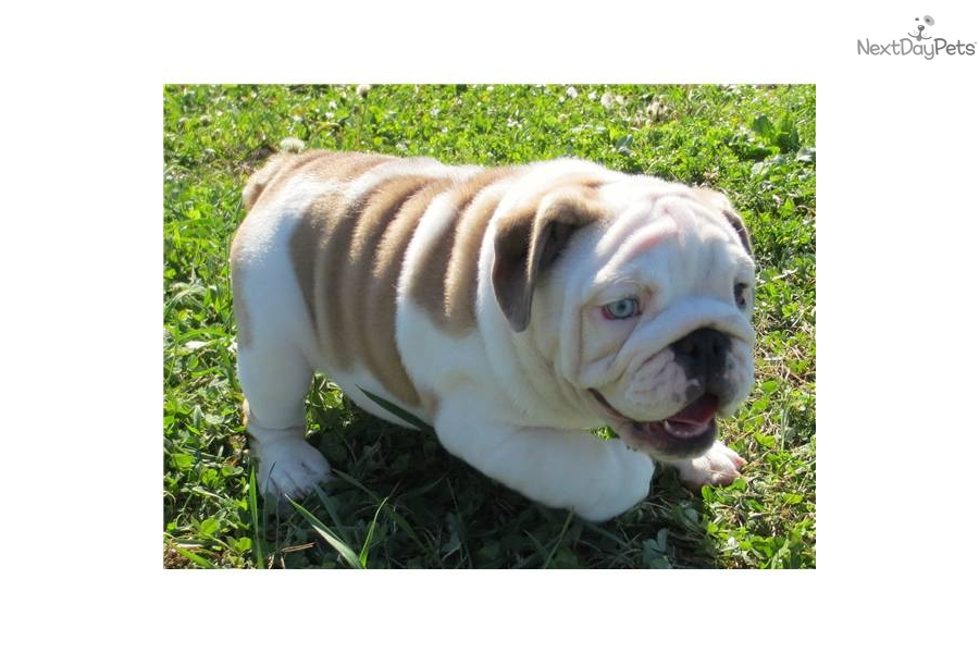 blue eyed english bulldog puppies for sale english bulldog puppy for sale near springfield missouri 1701