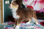 Picture of AKC Red-Tri Girl - READY NOW!