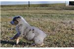 Picture of AKC Champion Bloodline Blue Merle Boy