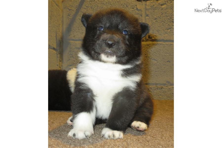 Karelian Bear Dog puppy for sale near North Jersey, New ...