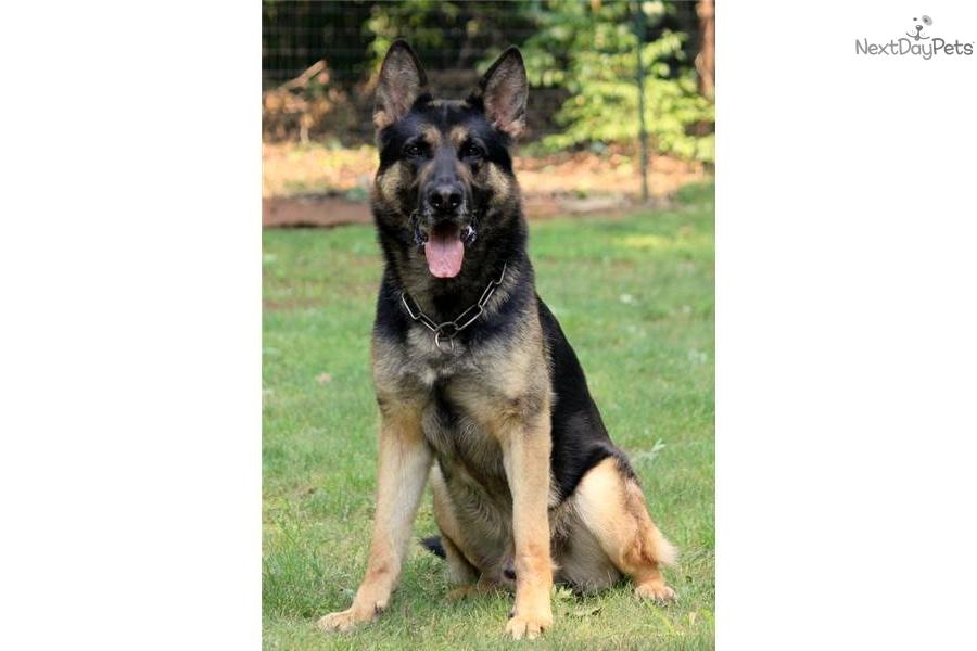 German Shepherd Dog Schutzhund - Marcpous