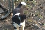 Picture of Border collie male