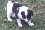 Picture of Female border collie female