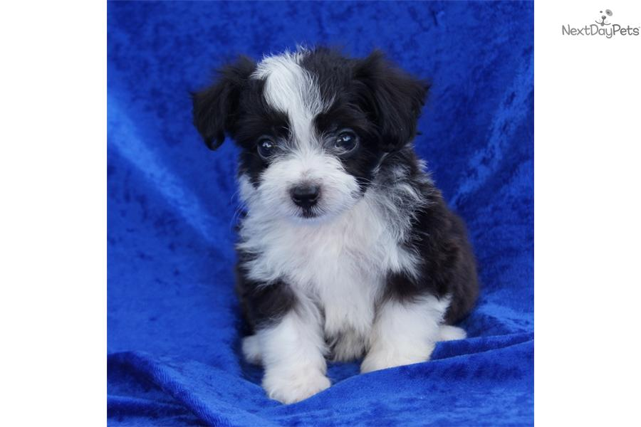 Meet Buddy A Cute Aussiedoodle Puppy For Sale For 650