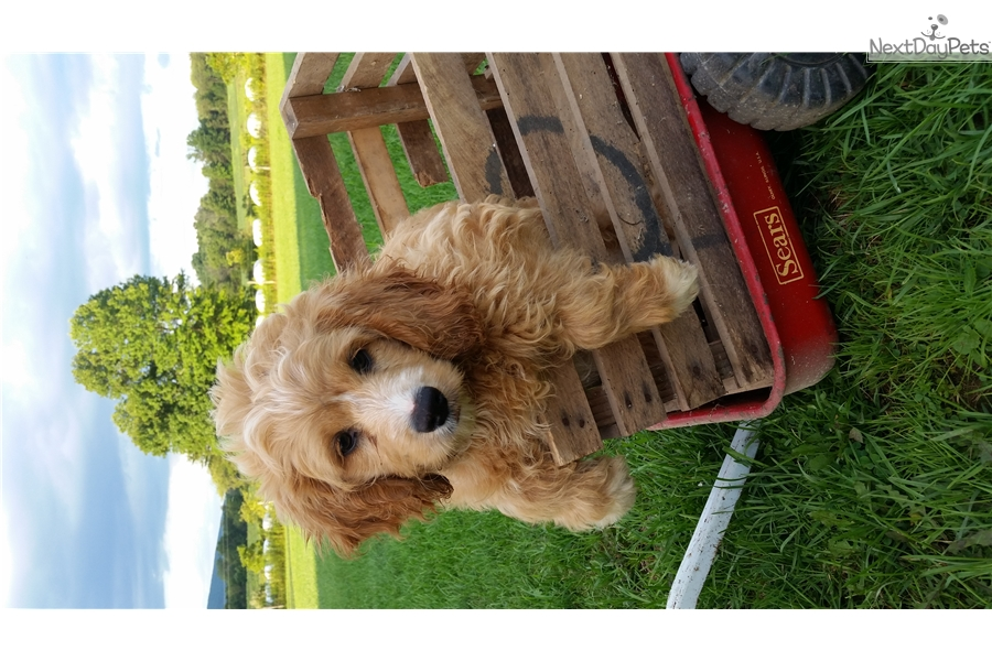 Mini Bella: Cockapoo puppy for sale near State College, Pennsylvania