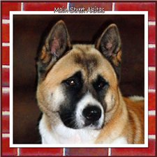 View full profile for Main Street Akitas