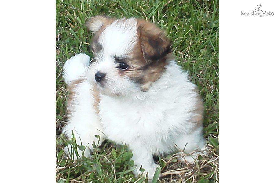 Miki Puppy For Sale Near West Palm Beach Florida