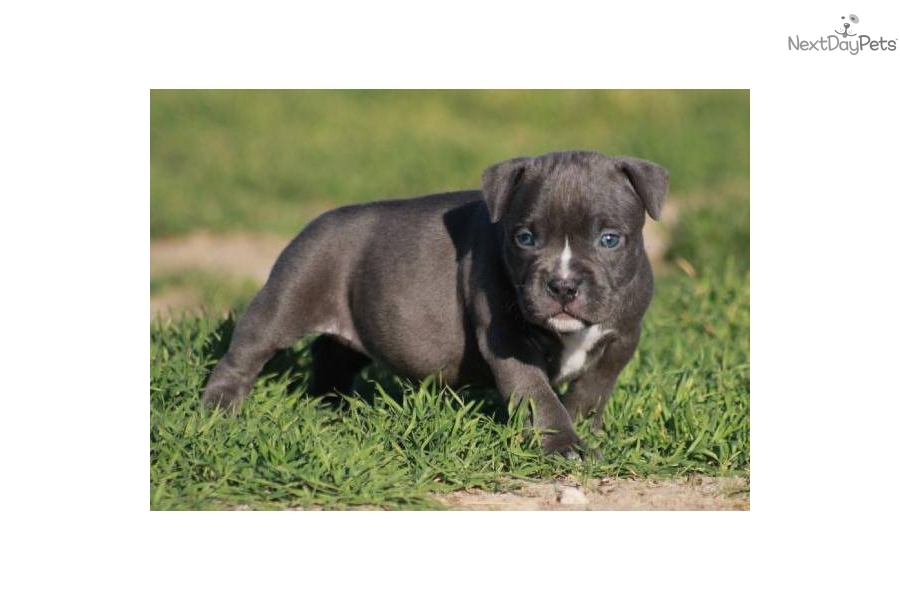 American Pit Bull Terrier puppy for sale near Palm Springs ...