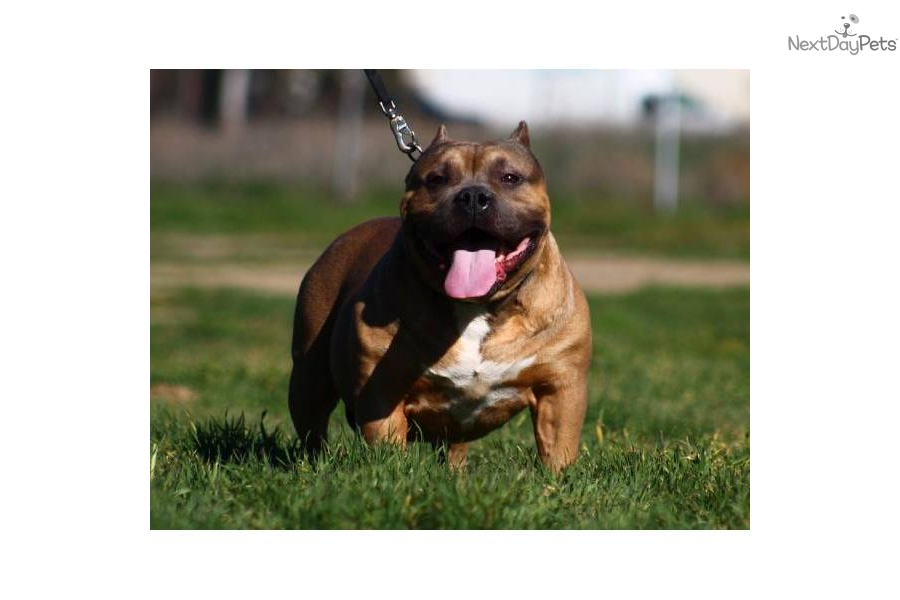 American Pit Bull Terrier Puppy For Sale Near Palm Springs California 3d389b65 Bc51